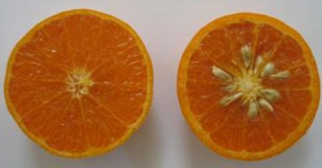 Seedless: The KinnowLS (left) developed by scientists appears to have no pips whereas the a normal Kinnow (right) could contain as many as 30