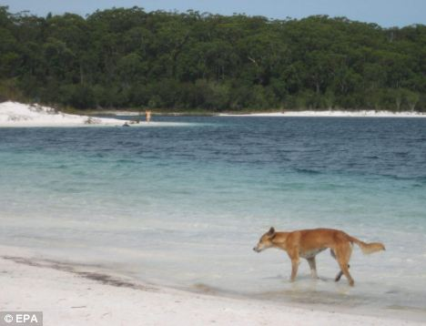 An image released by Fraser Island Dingo Preservation Group in the wake of the attack shows a dingo at the freshwater Lake McKenzie on the island