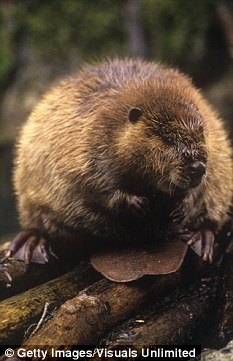 Watch out! Mike Keizer warned residents 'there's a wild beaver walking through town, heading your way'