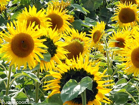 Prime target: Sunflowers are one of the plants that require protection from slugs and snails
