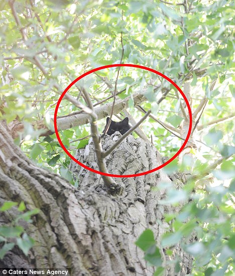 Poor puss: Bess the cat pictured when she was stuck up the 60ft tree in Birmingham, before being saved by the tree surgeon