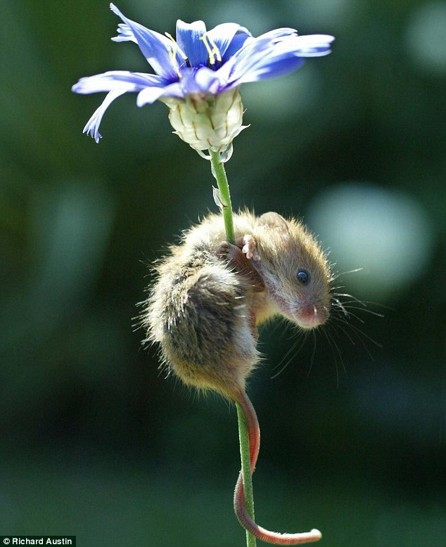 Danger mouse: A daring harvest mouse scales a bloom