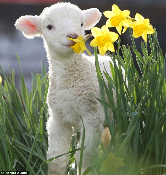 Not to be sniffed at: This lamb likes the smell of daffs