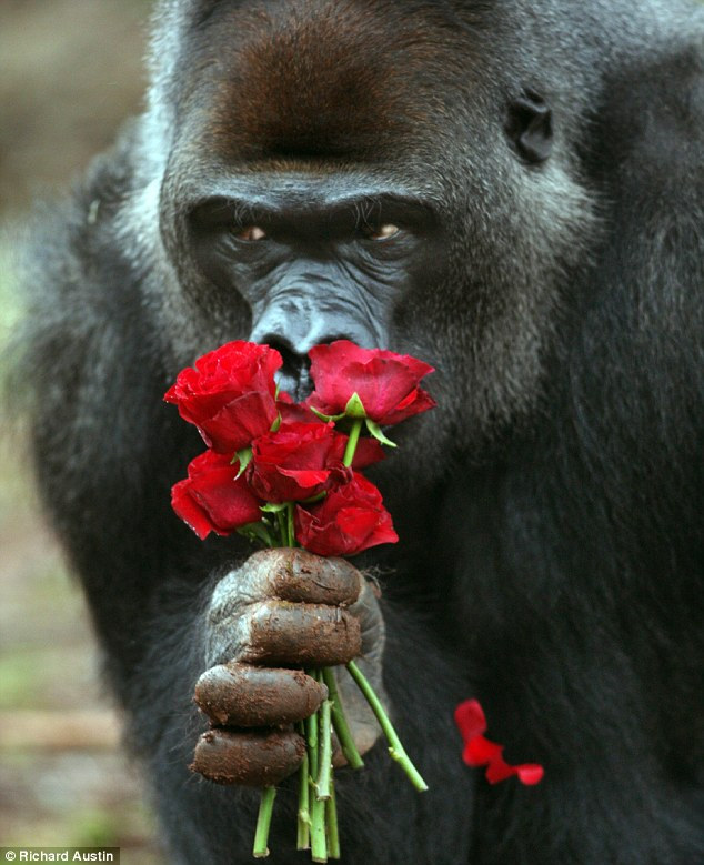 These aren't bananas! A gorilla at Paignton Zoo sniffs a bunch of roses