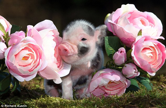 In the pink: A piglet nestles between rose blooms on a farm in Devon