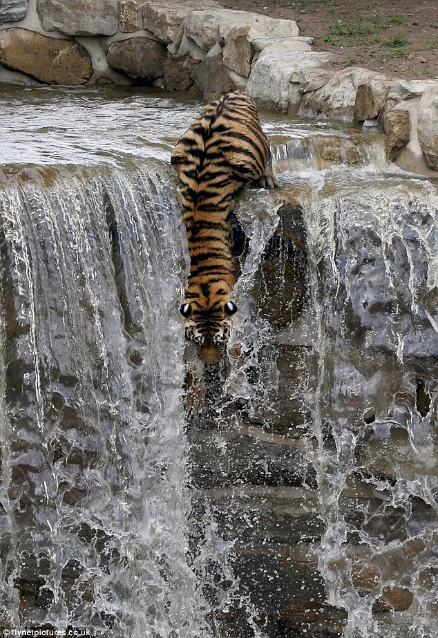 Down we go: The Siberian tiger leaps over the top and jumps into the water