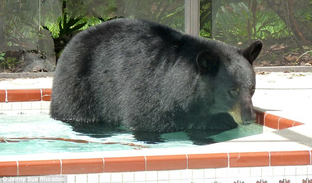 Cooling off: The bear broke through the screen and decided to have a rest in the family hot tub