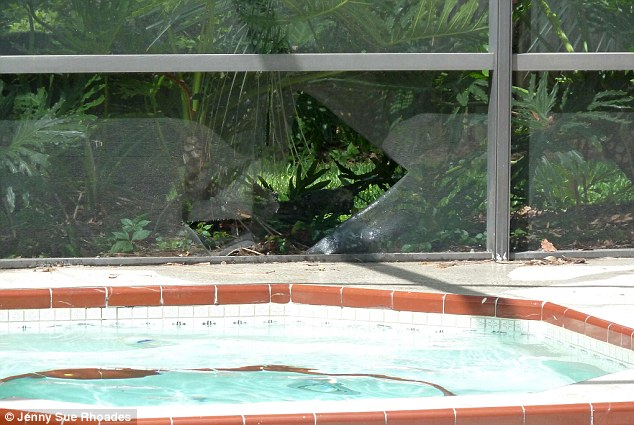 Damage: The black bear left a huge hole in the pool screen where he had broken through to try and reach the water in the summer heat