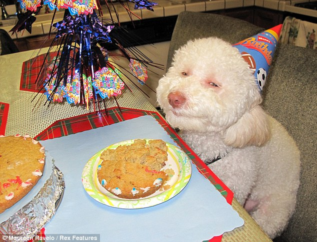 This bichon frise/poodle mix, named Riley, couldn't hide his glee as he celebrated his first birthday with cake
