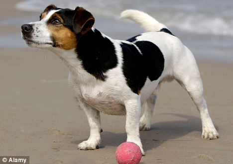 A Jack Russell Terrier (like the one pictured) chewed off it's owner's infected toe