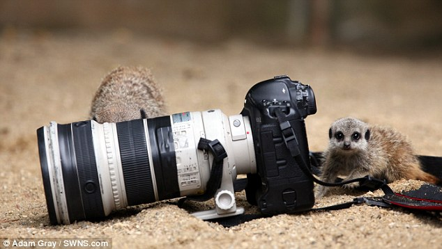 How do you switch it on? Two of the critters investigate the press photographer's camera after he left it lying in their enclosure