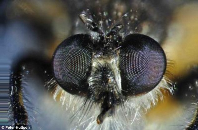 Up close: The compound eyes of a living insect - a predatory robber fly - showing the individual lenses