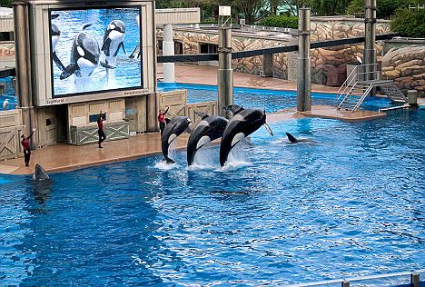 From left: Ikaika, Katina, and Taku perform in Sea World. Marine parks in North America are banned from importing wild-caught orcas, but the law does not apply to those born in captivity