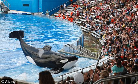 Shamu the killer whale performs at Seaworld, where Ikaika was born in 2002, to mother Katina and father Tilikum