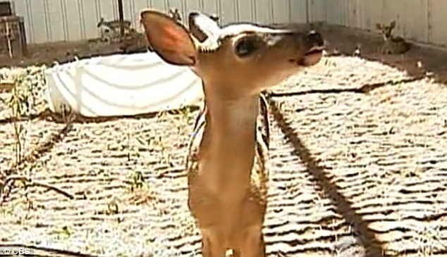 Drought victims: Abandoned fawns are being taken in at animal shelters across the country as their mothers are unable to feed them