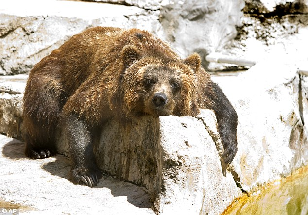 Bearing it: A grizzly bear at Henry Vilas Zoo dries off after taking a dip in the water to relieve himself of the scorching temperatures today