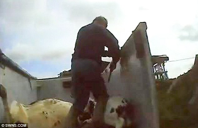 The unwanted young bull was led to a trailer strewn with other animal carcasses and shot
