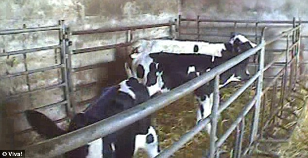 Undercover: The group secretly filmed dairy farms to reveal what happened to bull calves