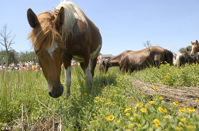 Rest time: After their swimming challenge, the ponies started grazing at the landing site