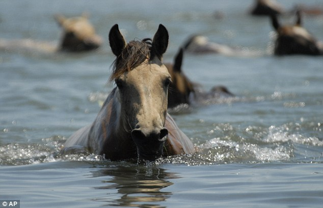 Keep going! A tired pony struggles through the water but luckily the low tide made it a bit easier