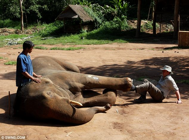 Gently does it: Mr Nevin gently taps his foot against Pepsi, a bull elephant injured in a fight with another male. This creates a lymphatic pump action, to soothe the leg muscles
