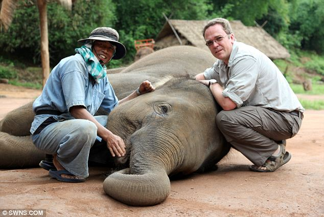 Healing hands: Tony Nevin, the world's only wildlife osteopath, in Thailand treating Dah, one of the female elephants at the Golden Triangle Asian Elephant Foundation sanctuary