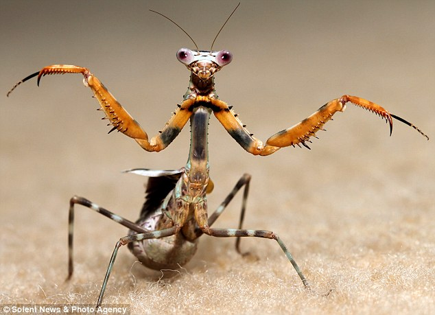 Putting on a show: While the mantis's movements are mightily impressive, they failed to arouse the interest of the pooch