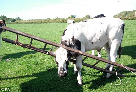 Stunned: The Belgian Blue bullock was spotted by a member of the public who alerted animal rescue workers - who thought it was a hoax call