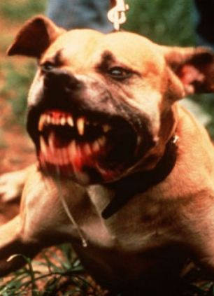 Notorious breed: The pitbull has a reputation for being aggressive, dangerous and incredibly strong