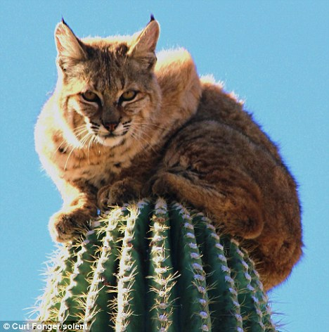 Incredible escape: The bobcat stayed perched on top of this cactus for several hours