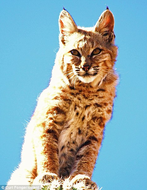 Unharmed: Despite clambering to the top of a spiky cactus this bobcat didn't even get a scratch