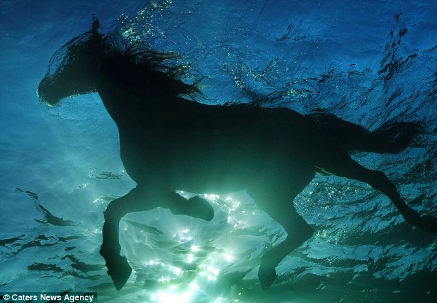 Water baby: The incredible images show the sunlight shrouding the horses who are snapped while swimming
