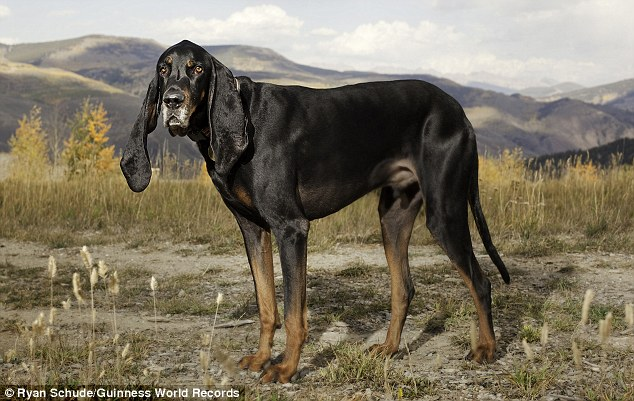World record: Harbor the coonhound has the largest canine ears on the planet, with the left measuring 12.25inches and the right 13.5inches