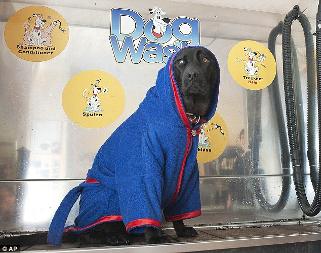 Pampered pooch: After Mara was blow-dried he chilled out in a royal blue bath robe