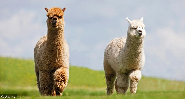 Two Alpacas in a meadow