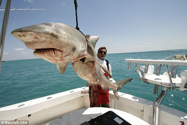 Last of a kind: Mark 'The Shark' Quartiano poses with an 8ft long bull shark caught in the waters around Miami, Florida