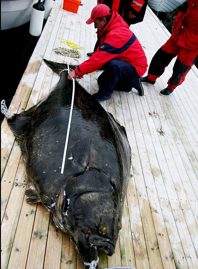 Supersize: At 8ft 3ins the Atlantic halibut tipped the scales at just over 540 pounds - smashing the previous world record by an impressive 58lbs