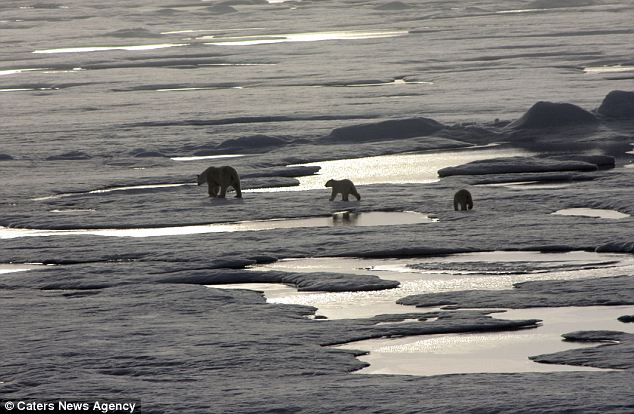 Snow joke: The melting ice caps could be a disaster for resident polar bears