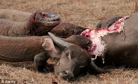 'Like a giant, scaly can-opener': The Komodo Dragon uses its serrated teeth to tear strips of flesh from its victims, this time a buffalo