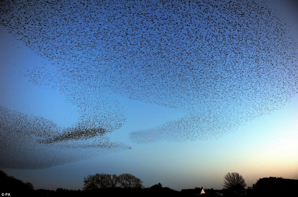 Strictly for the birds: The starlings dance in the sky in the display that only happens in winter months