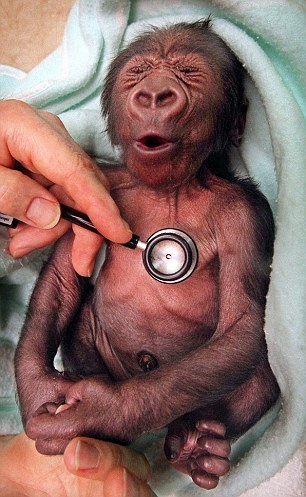 Cute: The baby Yakini receives his heart check shortly after he was born in the image that made him famous