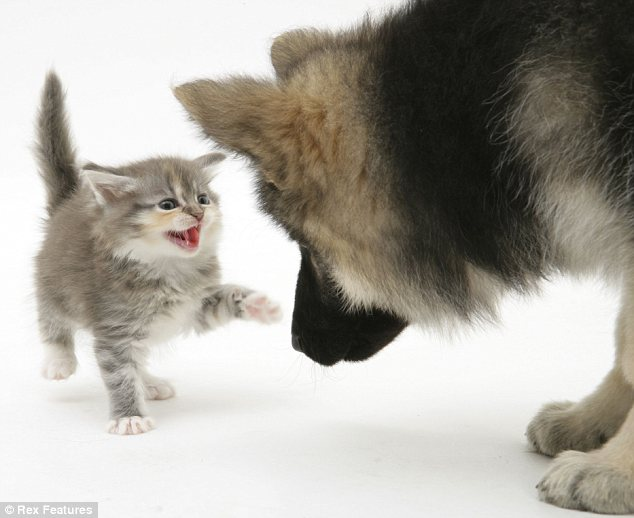 Not a fair fight: But the kitten is determined to have it out with a huge German Shepherd
