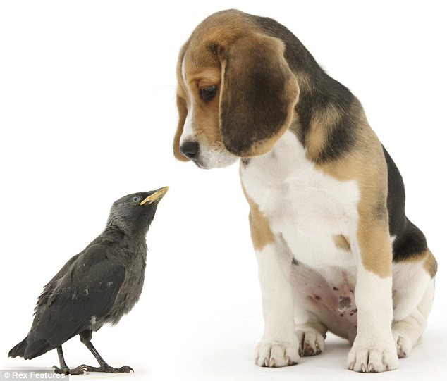 An odd couple: But Bruce the beagle pup seems to have an understanding with this jackdaw
