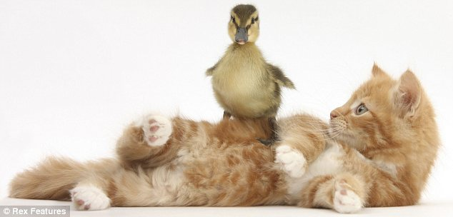 Balancing act: This cat seems happy to be used as gym equipment by a tiny duckling