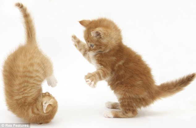 Tumbling: Even tiny baby kittens can be amazingly athletic, as this picture shows