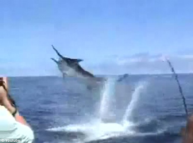 Close-up: But in trying to reel the giant fish in, the marlin thrashes towards the boat and lunges at fisherman Steven