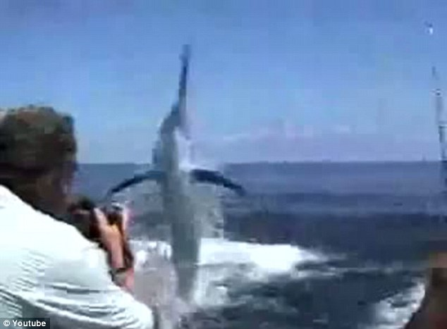 Majestic: The giant marlin leaps from the sea after being hooked by angler Steven Schultz off the coast of Panama