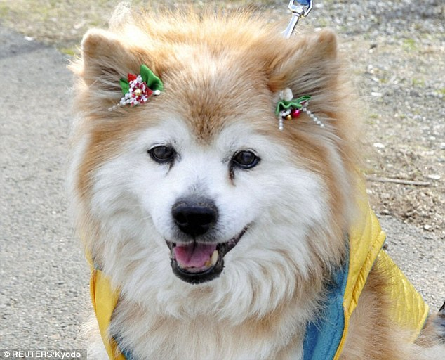 Long-life: Pusuke was the world's oldest living dog and died in Japan at the age of 26 - the equivalent to more than 125 human years