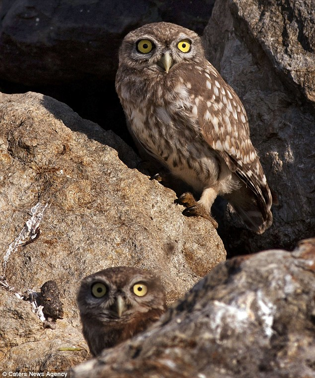 Whose looking at you? The two owls peering out from among some rocks