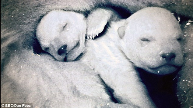 Moving scene: The pair of two-day-old polar bear cubs shown on the documentary. At this age they weighed less than a kilo, but were filmed in a zoo